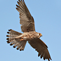 Circular Walk 10: Kestrel at East Wickham Open Space