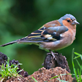 Circular Walk 2: A Chaffinch in Grove Park Nature Reserve