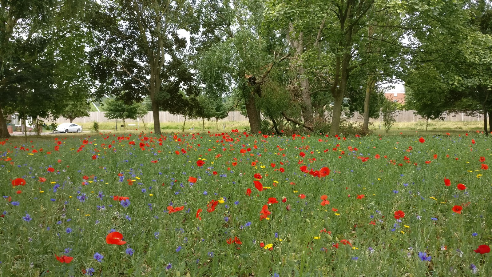 Wildflowers in the Abbey Wood estate planted in early 2020