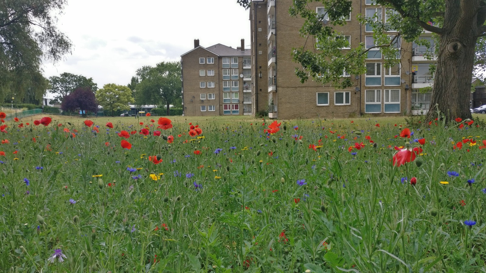 Wildflowers at the Abbey Road estate planted earlier this year